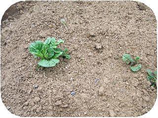 じゃが芋の芽-1.jpg