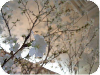 お花見喫茶3.jpg